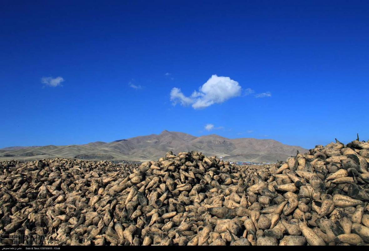 خبرنگاران 2500هکتار از اراضی چهارمحال و بختیاری آماده کشت چغندرقند است