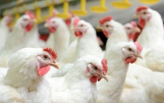 افزایش قیمت خوراک عامل بالا رفتن نرخ مرغ، دولت از تأمین نهاده ناتوان است