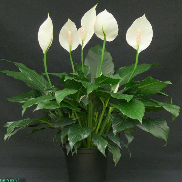 آشنایی با گل اسپاتی فیلوم و نگهداری آن